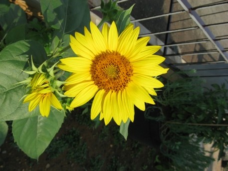 Helianthus anuus_bright color annual flowers for your garden.jpg