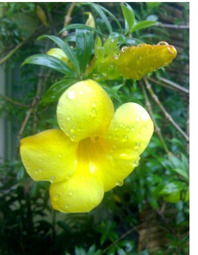 Allamanda Flower Pictures