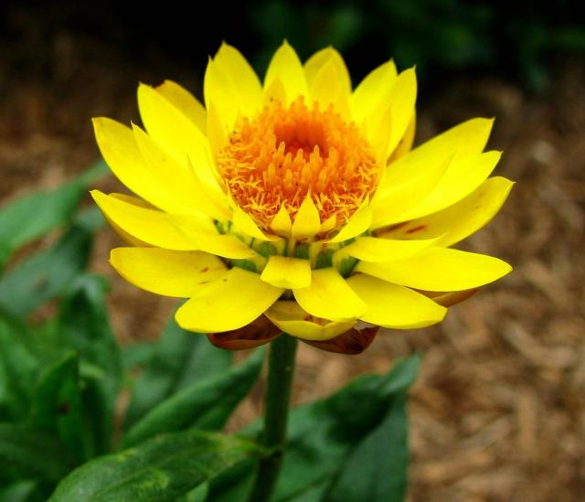 picture of a bright yellow annual flower.jpg