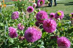 Group of pink Dahlias.jpg