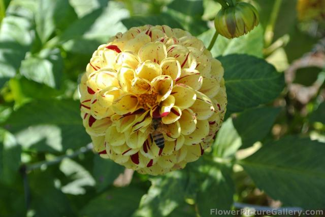 Miniature Ball Dahlia in yellow with red accent.jpg