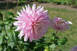 Pink Dahlia of Nova Scotia.jpg