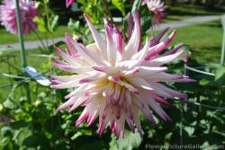 White Dahlia with magenta tips.jpg