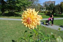 Yellow Dahlia of Nova Scotia.jpg