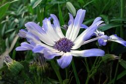 Purple and white annual flowers_beautiful flowers for your garden.jpg