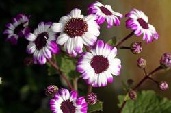 purple tinge cineraria flowers.jpg