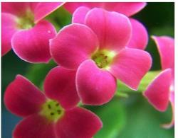 Tiny Kalanchoe flowers in bright pink.jpg
