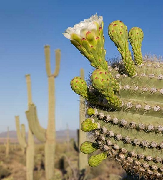 aguaro Cactus Buds and Flower.jpg
