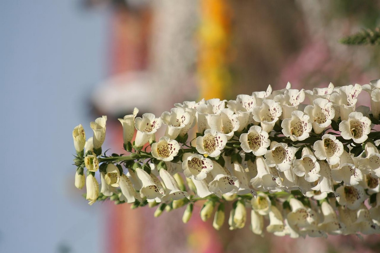 annual bell flowers in cream yellow colors.jpg