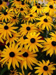 beautiful and colorful Rudbeckia Hirta annual flowers.jpg