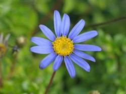 Blue Aster flower with bright yellow eye.jpg