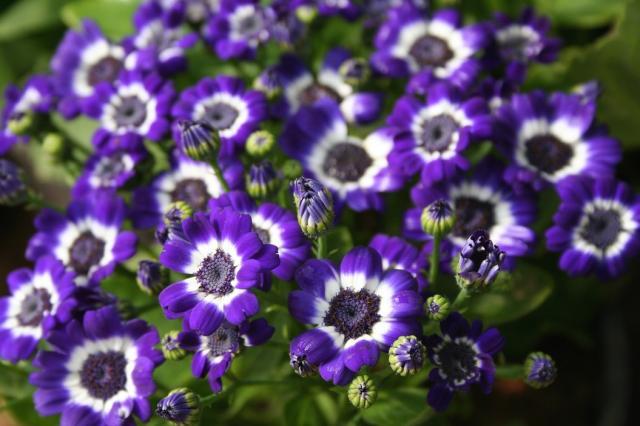 purple and white daisy flowers.jpg Hi-Res 720p HD