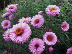 Aster garden flowers in light pink with yellow orange center.jpg
