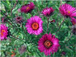 beautiful garden flowers photo with pink asters.jpg