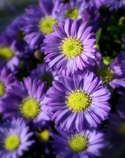 Beautiful Purple Aster Flowers With Bright Yellow Jpg