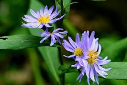 beautiful purple flowers photo of aster flowers.jpg