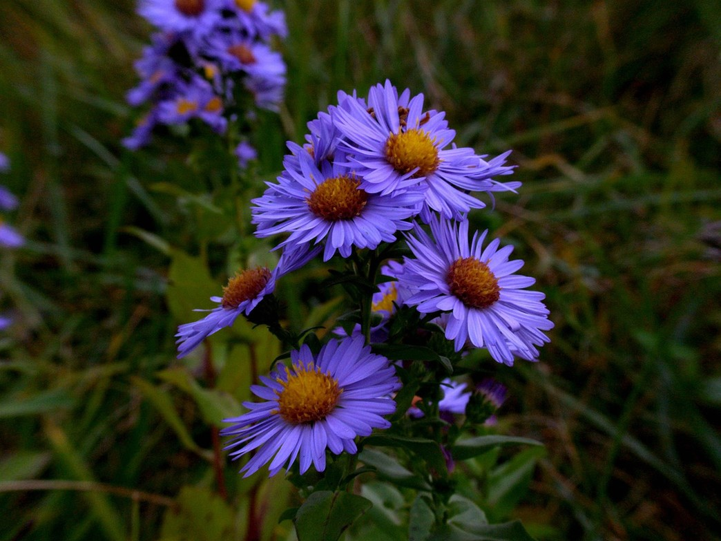blue Aster flowers photo.jpg