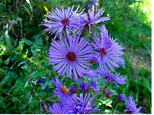 purple aster flowers with bright yellow eye, Beautiful flower