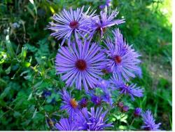 blue purple Aster flowers with bright yellow eye.jpg
