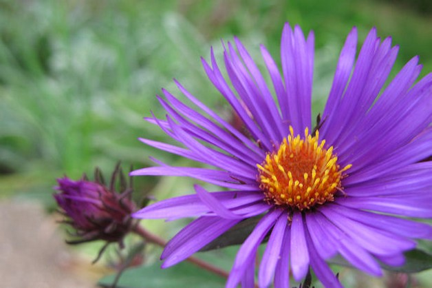 bright color Aster flowers with buds.jpg