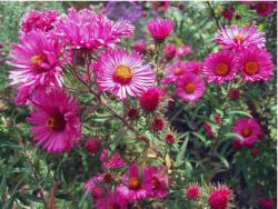 bright pink Aster flowers with orange center.jpg