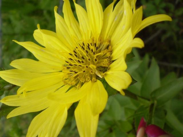 yellow aster flowers image, Beautiful flower