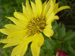 bright yellow Aster flowers image.jpg