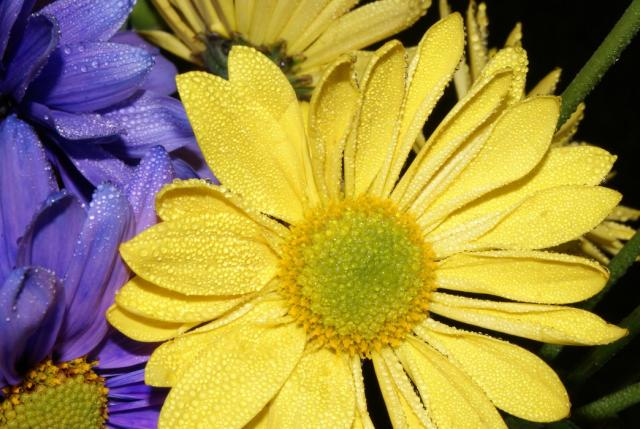 bright yellow aster flowers pic hires p hd, Beautiful flower