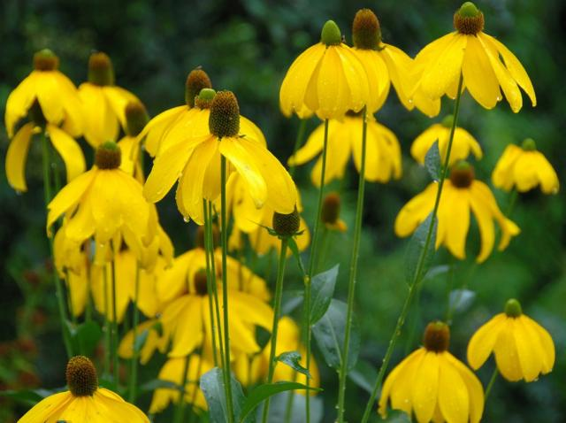 bright yellow aster flowers picture hires p hd, Beautiful flower