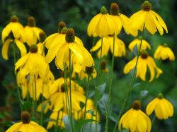 bright yellow Aster flowers picture.jpg