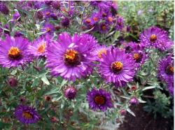 colorful garden with aster flowers.jpg