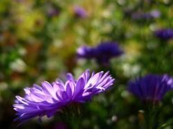 dark Aster flowers photo.jpg
