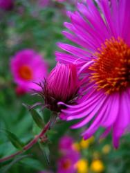 dark bright pink Aster flowers.jpg