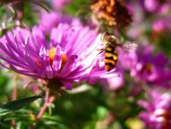 dark pink Aster flowers with bees.jpg