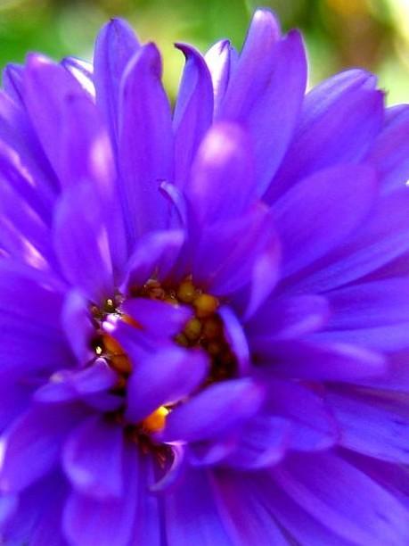 purple aster flowers pic, Beautiful flower