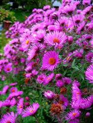 garden flowers Asters picture.jpg