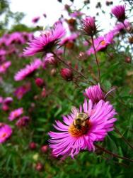 garden flowers asters with brigt pink with bees picture.jpg