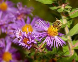 image aster flowers with yellow center.jpg