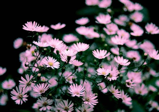 light pink aster flowers hires p hd, Natural flower