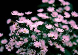 light pink Aster flowers.jpg