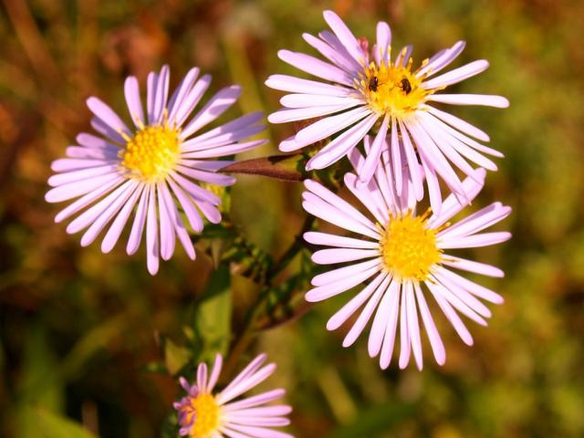 light pink Aster flowers with yellow center.jpg