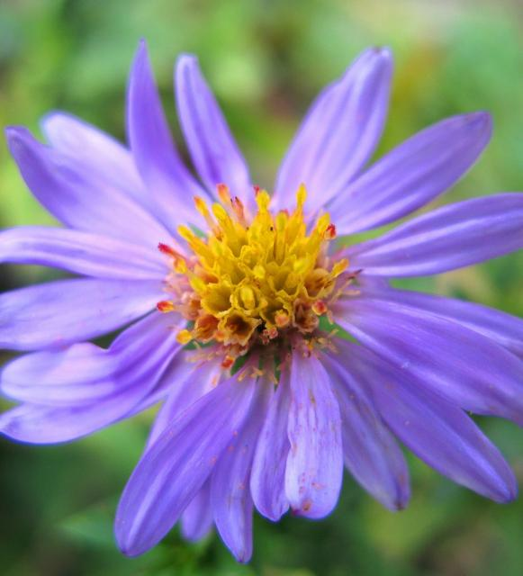 light purple aster flowers with yellow center  comment hi, Beautiful flower