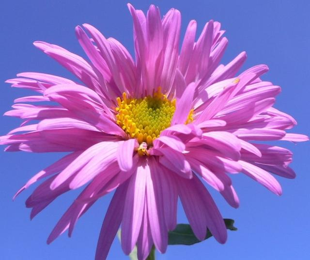 Pink Aster flower picture.jpg