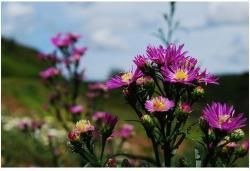 pink aster flowers photos.jpg