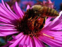 pink Aster flowers with bee image.jpg