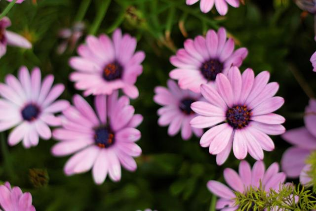 pink aster flowers with purple center hires p hd, Beautiful flower