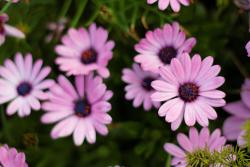 pink Aster flowers with purple center.jpg