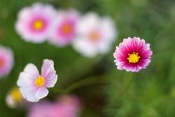 pink Aster flowers with yellow eyes.jpg