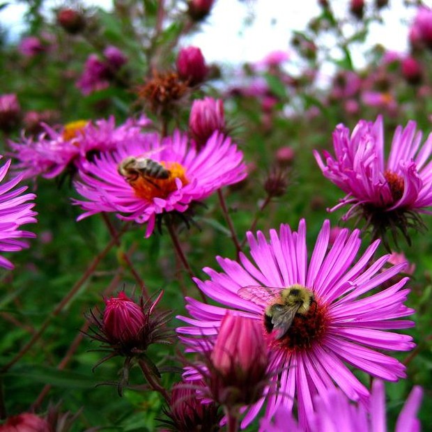 pretty aster flowers photo.jpg