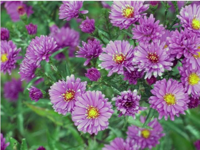 Purple Garden Flowers for Pinterest